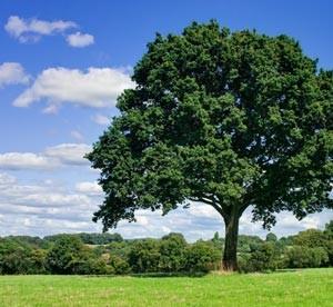 Oak-tree-in-field-007